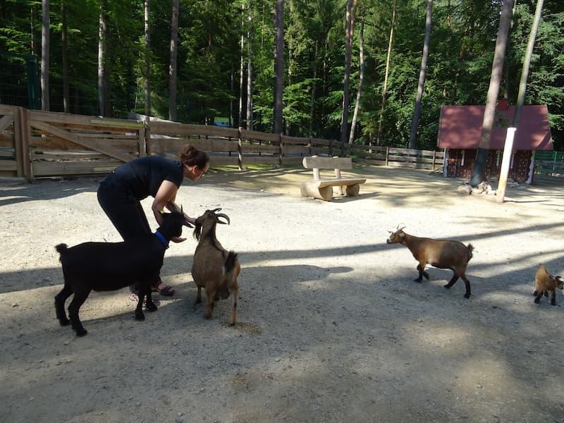 Baumwipfelpfad Steigerwald: Ziegen im Streichelzoo